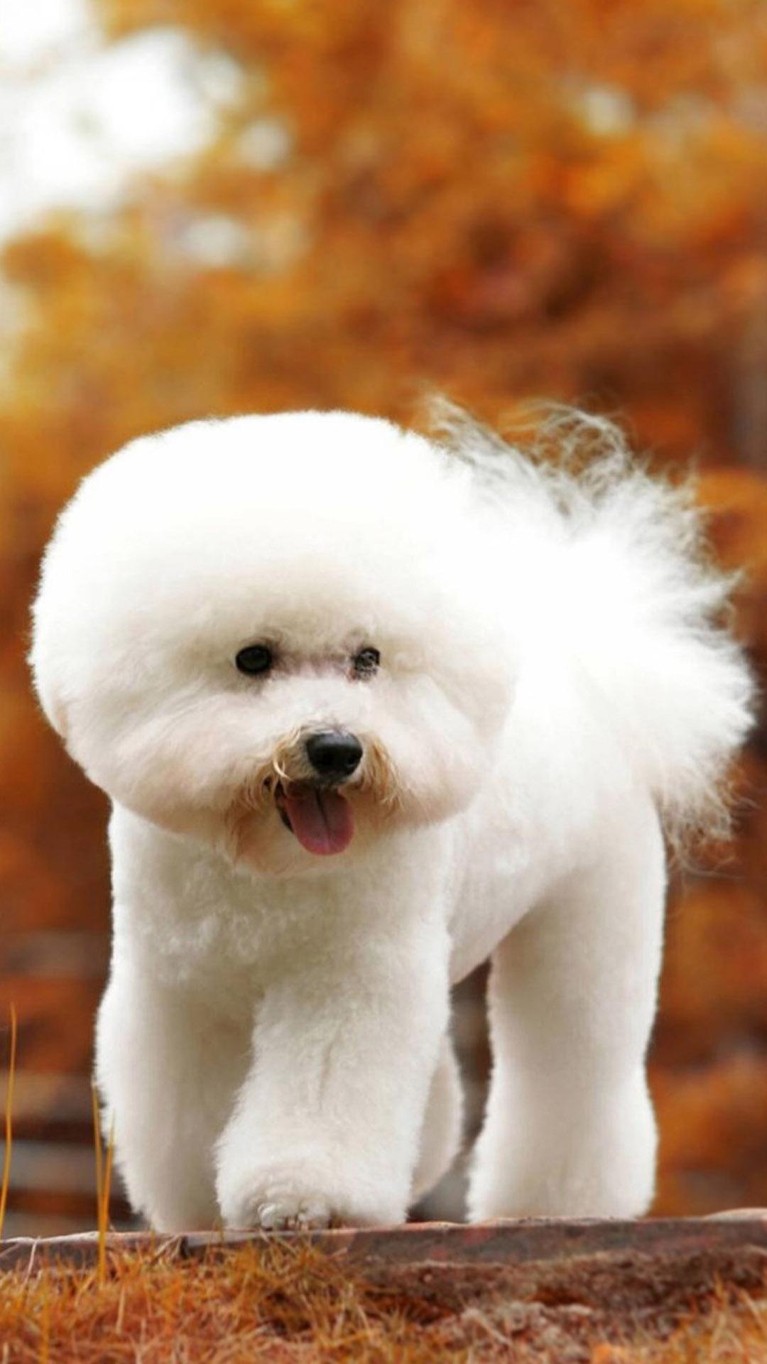 """简介:比熊犬原产于地中海地区,是一种小型犬品种。颜色一般白色,是一种娇小的、强健的白色粉扑型的狗,具有欢快的性格,从它羽毛般欢快地卷在背后的尾巴和好奇的眼神中就能体现出来。今天带给大家的就是动物手机壁纸——""""可爱毛茸茸比熊犬手机壁纸"""",比熊外形可爱,深受大家喜欢,现在多被当作家养宠物 ,因此需要定期处理它的毛发,疾病等。比熊犬性情温顺、敏感、顽皮而可爱。整体外貌而言,比熊犬是小型犬,健壮,萌,蓬松的小尾巴贴在后背,有着一双充满好奇的黑色眼睛。同时它的动作优雅"""