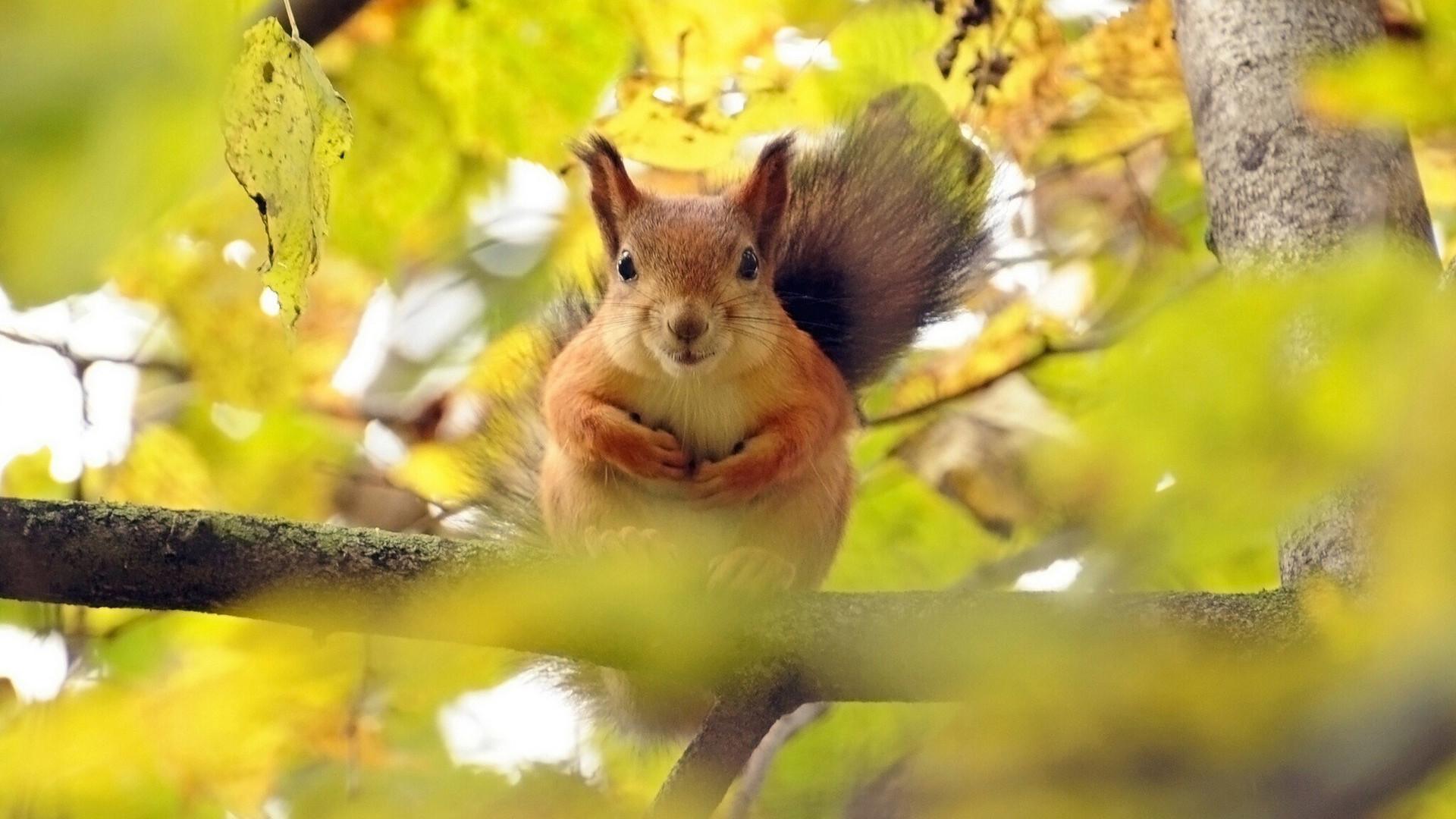 """简介:松鼠是典型的树栖小动物,身体细长,被柔软的密长毛反衬显得特别小。长着毛茸茸的长尾巴、匀称灵活的身体。今天带给大家的就是萌宠壁纸——""""森林里的可爱松鼠桌面壁纸"""",松鼠的眼睛大而明亮,耳朵长,耳尖有一束毛,冬季尤其显著。尾毛多而蓬松,常朝背部反卷,造型非常可爱。松鼠喜欢在白天活动,特别在清晨更为活跃,常常在树干和树杈间窜来跳去,一会觅食,一会玩耍,无拘无束,好不自在。松鼠进食的时候,用前肢抱着食物送入口中,津津有味地咀嚼品尝,时而竖耳侧听,时而转动双眼环顾"""