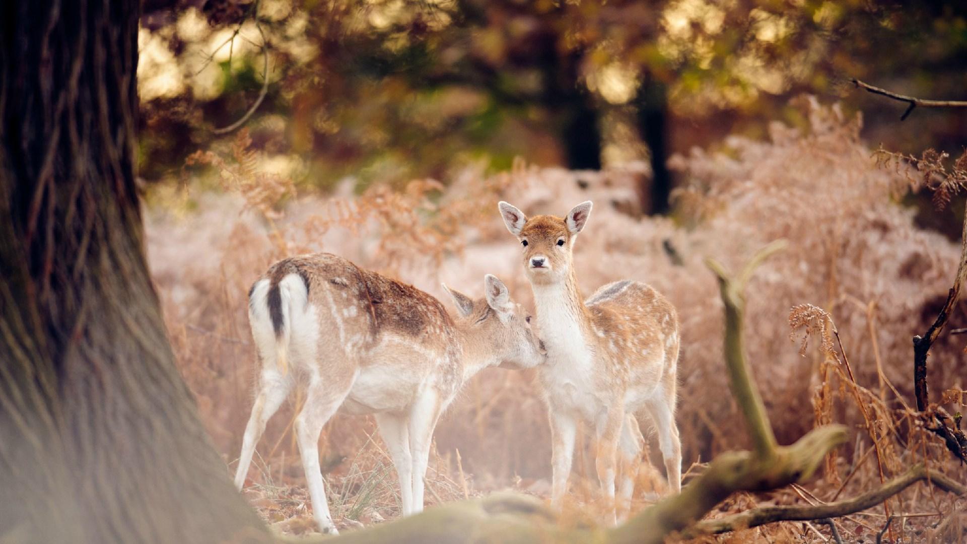 森林里的小鹿摄影桌面壁纸